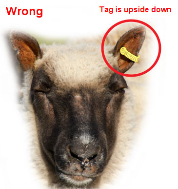 Image of SET tag correctly tagged in left ear