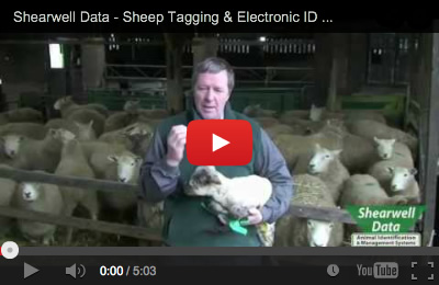 Video demonstrating the safe and correct tagging procedure for RFID sheep tags